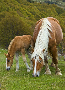 Domestic Horse (Equus caballus) foal and mare in mountain meadow, Pyrenees, France  -  Yva Momatiuk & John Eastcott