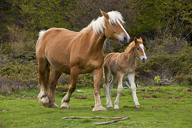 Domestic Horse (Equus caballus) mare and foal walking together in mountain meadow, Pyrenees, France  -  Yva Momatiuk & John Eastcott
