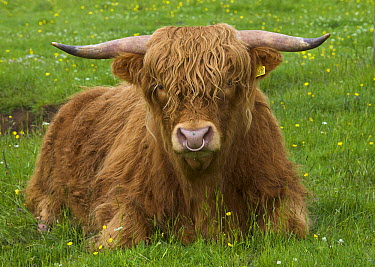 Highland Cattle (Bos taurus) in green pasture, Isle of Skye, Scotland  -  Yva Momatiuk & John Eastcott