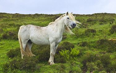 Domestic Horse (Equus caballus) in moorland, Isle of Skye, Scotland  -  Yva Momatiuk & John Eastcott