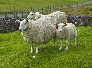 Domestic Sheep (Ovis aries) ewes and lamb in stone-walled pasture, Isle of Skye, Scotland  -  Yva Momatiuk & John Eastcott