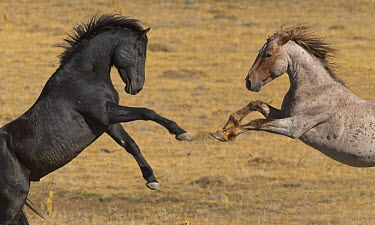 Wild Horse (Equus caballus) stallions play fighting, Pryor Mountain Wild Horse Range, Montana  -  Yva Momatiuk & John Eastcott