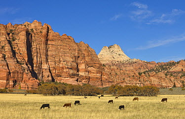 Highland Cattle (Bos taurus) with calves grazing in pasture, Zion National Park, Utah  -  Yva Momatiuk & John Eastcott