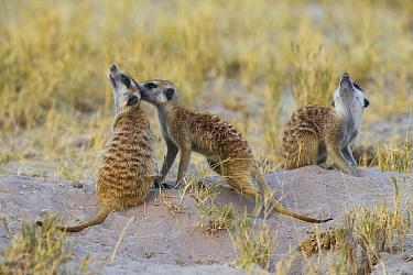 Meerkat (Suricata suricatta) group allogrooming, Botswana  -  Vincent Grafhorst