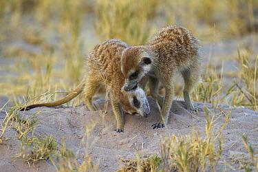Meerkat (Suricata suricatta) pair allogrooming, Botswana  -  Vincent Grafhorst