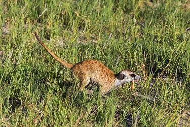 Meerkat (Suricata suricatta) running with prey grub, Botswana  -  Vincent Grafhorst
