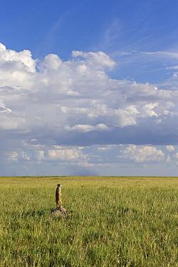 Meerkat (Suricata suricatta) sentinel on termite mound, Makgadikgadi, Botswana  -  Vincent Grafhorst