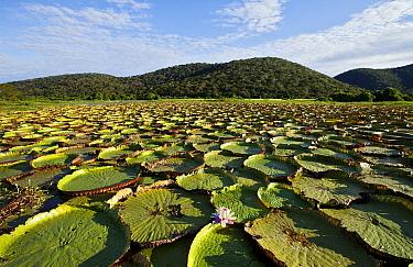 Amazon Water Lily (Victoria amazonica) in lake, Amolar Mountains, Pantanal, Brazil  -  Luciano Candisani