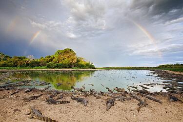 Jacare Caiman (Caiman yacare) and rainbow during dry season, Pantanal, Brazil  -  Luciano Candisani