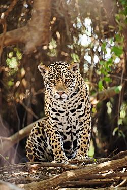 Jaguar (Panthera onca), Cuiaba River, Pantanal, Brazil  -  Luciano Candisani