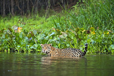 Jaguar (Panthera onca) walking in shallow water, Cuiaba River, Pantanal, Brazil  -  Luciano Candisani