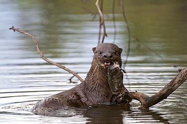 Long-tailed Otter (Lontra longicaudis) eating a fish, Rio Negro, Pantanal, Brazil  -  Luciano Candisani