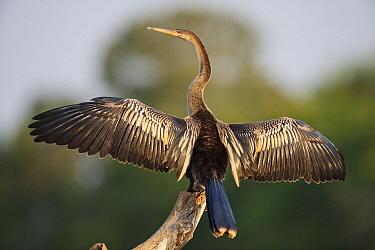 American Darter (Anhinga anhinga) drying wings, Cuiaba River, Pantanal, Brazil  -  Luciano Candisani