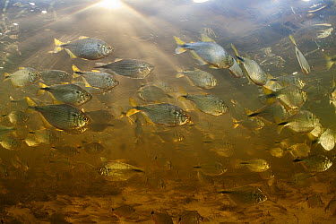 Characid (Astyanax asuncionensis) in a flooded field, wet season, Pantanal, Brazil  -  Luciano Candisani
