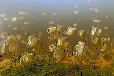 Silver Tetra (Tetragonopterus argenteus) school in flooded field, Pantanal, Brazil  -  Luciano Candisani
