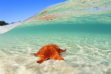 Cushioned Star (Oreaster reticulatus), Gipoia Island, Ilha Grande, Brazil  -  Luciano Candisani