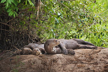 Giant River Otter (Pteronura brasiliensis) mother and juveniles lounging on riverbank, Cuiaba River, Pantanal, Brazil  -  Luciano Candisani