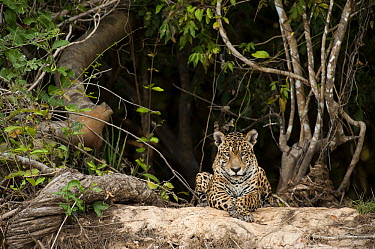 Jaguar (Panthera onca) resting on riverbank, Cuiaba River, Brazil  -  Luciano Candisani