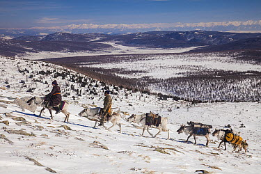 Caribou (Rangifer tarandus) being ridden by Tsataan people during spring round up, Hunkher Mountains, Mongolia  -  Colin Monteath/ Hedgehog House