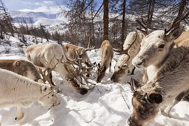 Caribou (Rangifer tarandus) herd grazing on snow-covered moss near Tsataan teepee camp, late winter, Hunkher Mountains, Mongolia  -  Colin Monteath/ Hedgehog House