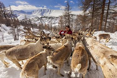 Caribou (Rangifer tarandus) being fed salt by Tsataan woman at camp after long winter, Hunkher Mountains, Mongolia  -  Colin Monteath/ Hedgehog House