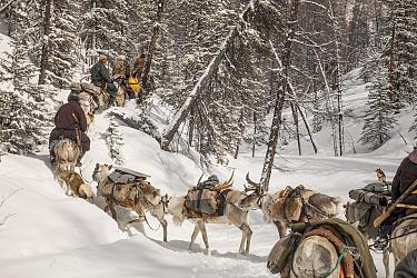 Caribou (Rangifer tarandus) caravan with Tsataan riders leaving winter camp, Hunkher Mountains, Mongolia  -  Colin Monteath/ Hedgehog House