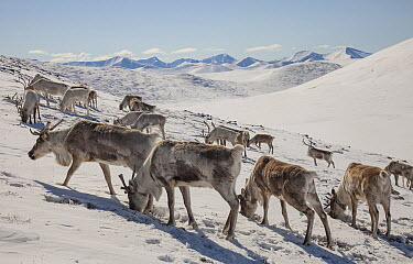 Caribou (Rangifer tarandus) herd scraping away powder snow to find moss to eat, Hunkher Mountains, Mongolia  -  Colin Monteath/ Hedgehog House