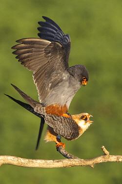 Red-footed Falcon (Falco vespertinus) pair mating, Hortobagy National Park, Hungary  -  Jack Folkers/ Buiten-beeld