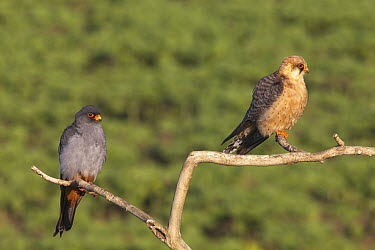 Red-footed Falcon (Falco vespertinus) male and female, Hortobagy National Park, Hungary  -  Jack Folkers/ Buiten-beeld