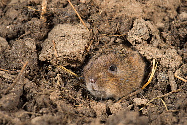 Montane Water Vole (Arvicola scherman) emerging from hole, Eijsden-Margraten, Netherlands  -  Paul van Hoof/ Buiten-beeld