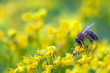 Honey Bee (Apis mellifera) feeding on flower nectar, Broek op Langedijk, Netherlands  -  Jelger Herder/ Buiten-beeld