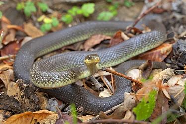 Aesculapian Snake (Elaphe longissima) in defensive posture, Vesprem, Hungary  -  Jelger Herder/ Buiten-beeld