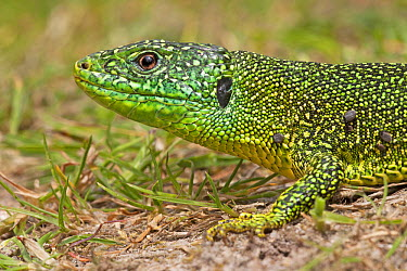 Western Green Lizard (Lacerta bilineata), La Brenne, France  -  Jelger Herder/ Buiten-beeld