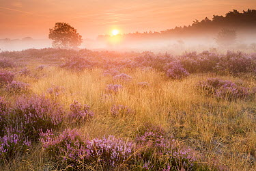 Heather (Calluna vulgaris) flowering at sunrise on foggy morning, Herkenbosch, Netherlands  -  Bob Luijks/ Buiten-beeld