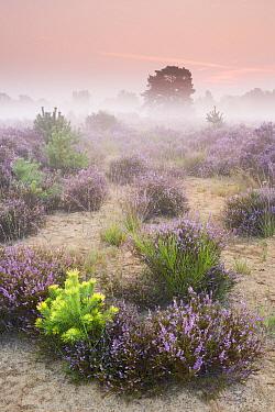 Heather (Calluna vulgaris) flowering, Herkenbosch, Netherlands  -  Bob Luijks/ Buiten-beeld