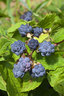 European Dewberry (Rubus caesius) berries, Deventer, Netherlands  -  Sjon Heijenga/ Buiten-beeld