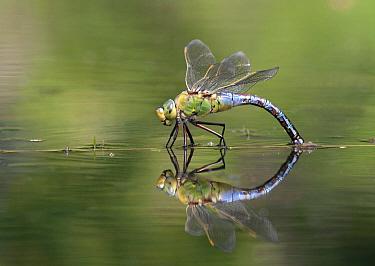 Emperor Dragonfly (Anax imperator) female laying eggs, Rijssen, Netherlands  -  Arjan Troost/ Buiten-beeld
