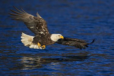Bald Eagle (Haliaeetus leucocephalus) hunting, Homer, Alaska  -  Jan van der Greef/ Buiten-beeld