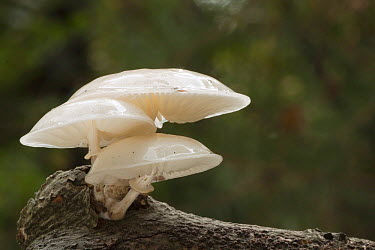 Porcelain Mushroom (Oudemansiella mucida) group, Utrecht, Netherlands  -  Henny van Egdom/ Buiten-beeld