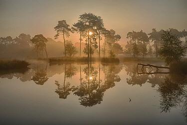 Pine (Pinus sp) trees reflecting in moor, Nijmegen, Netherlands  -  Bendiks Westerink/ Buiten-beeld