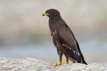 Lesser Spotted Eagle (Aquila pomarina), Sharm el Sheikh, Egypt  -  David Verdonck/ Buiten-beeld