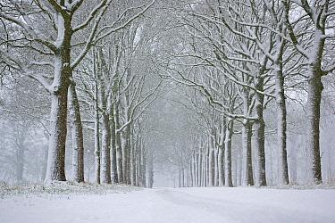 Oak (Quercus sp) trees along road in winter, Borculo, Netherlands  -  Michiel Schaap/ Buiten-beeld