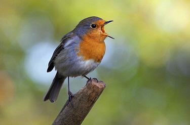 European Robin (Erithacus rubecula) calling, Rijssen, Netherlands  -  Arjan Troost/ Buiten-beeld