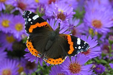 Red Admiral (Vanessa atalanta) butterfly, Neerijnen, Netherlands  -  Wil Meinderts/ Buiten-beeld