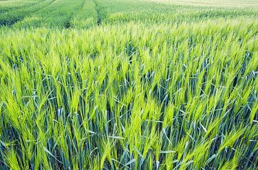 Two-rowed Barley (Hordeum vulgare) field in spring, Germany  -  Nico van Kappel/ Buiten-beeld
