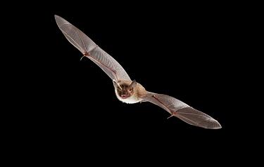 Bechstein's Bat (Myotis bechsteinii) flying, Ardennes, Belgium  -  Karl Van Ginderdeuren/ Buiten-be