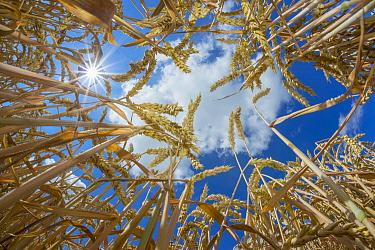 Common Wheat (Triticum aestivum), Netherlands  -  Nico van Kappel/ Buiten-beeld
