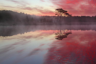 Lake and tree with mist at sunrise, Kootwijk Stroesezand, Netherlands  -  Johannes van Donge/ Buiten-beeld