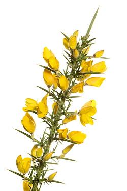 Gorse (Ulex europaeus) flowering, Rheden, Netherlands  -  Paul van Hoof/ Buiten-beeld