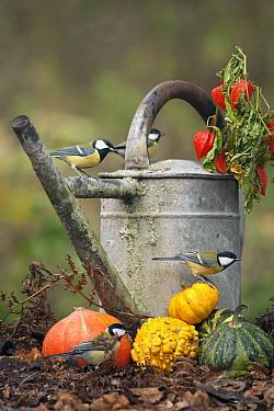 Great Tit (Parus major) group and watering can in autumn, Goor, Netherlands  -  Trui Alink/ Buiten-beeld